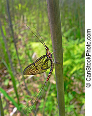 Mayfly Ephemeroptera - Close up of a mayfly Ephemeroptera on...
