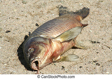 Dead Fish - A dead carp fish on the edge of a pond