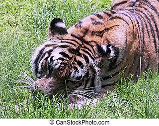 tigre, comida