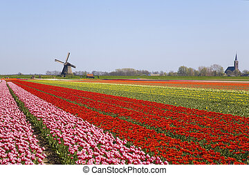 tulips and windmill 2 - Tulip field and historic windmill