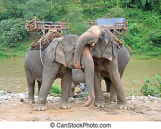 Elephants in love with a tropical river , Thailande -...
