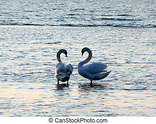 Swans Together - portrait of beautiful swans together in...