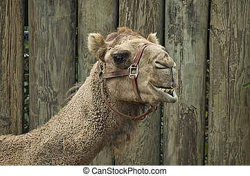 camel - Camel looking at the camera with wooden fence in...