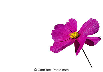 Cosmos - Pink Cosmos flower on washed out background of a...