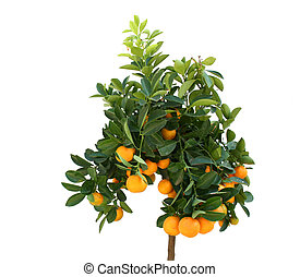 Citrus - Tangerine tree with plenty of fruits isolated on...