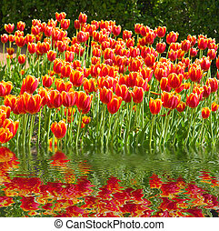 tulips - the flower-bed with many tulips and reflection