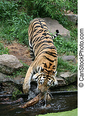 Tiger - Beautiful siberian tiger in a zoo