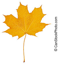 Fall leaves maple - Maple Fall leaves isolated over white