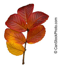 Sycamore fall leaves - Sycamore leaves isolated over white