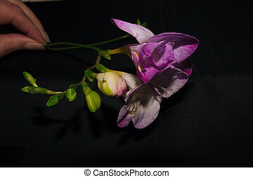 freesia stem over a black background