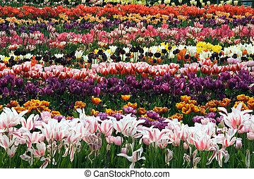 Tulip Field - Field of tulips in full bloom