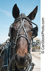 Mennonite Man\\\'s Horse - Lead horse for an authentic wagon...