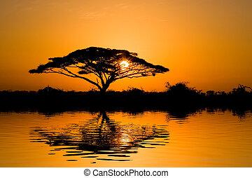 Acacia, árbol, salida del sol