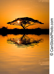 Acacia Tree at Sunrise - Beautiful african sunrise reflected...