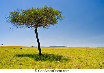 African Scene - Two cheetahs resting below an acacia tree in...