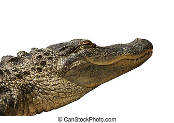 Florida Gator Isolated - A Florida alligator that was dozing...