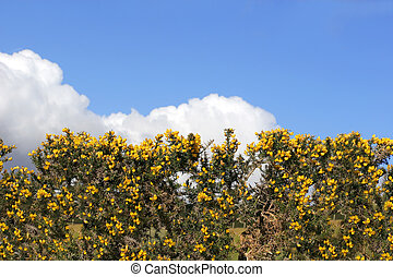 Gorse Hedgerow - Yellow gorse hedgerow in spring set against...