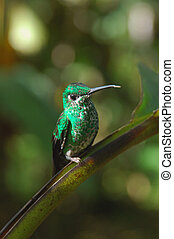Hummingbird - Green Crowned Brilliant Hummingbird