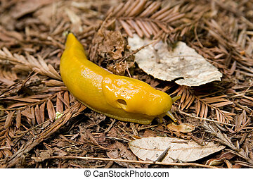 Santa Cruz Mountains Banana Slug - A Pacific Banana Slug...