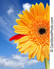 Bright Daisy - Yellow daisy with water drops and blue sky...