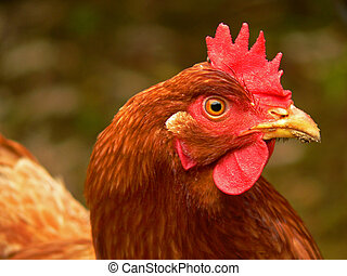 Chicken Profile - A colorful chicken stands against a...