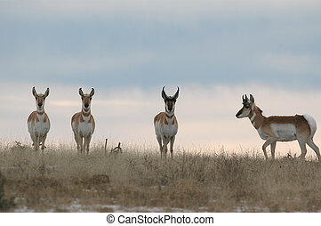 Pronghorn Herd - A small herd of pronghorn gather in a field...