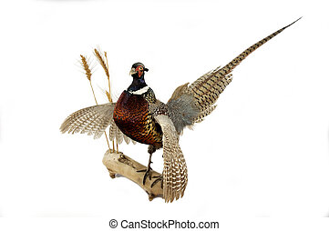 Ring-necked Pheasant - Taxidermy mount of a ring-necked...