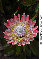 African Protea - South African National Flower from south...