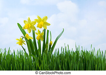 Daffodils in the grass against sky background