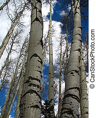 Dormant Aspens III - Two dormant aspens, with others behind,...