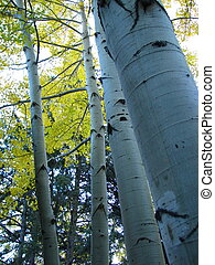 Apen Trunks - Several aspens at Frontier Ranch in Buena...
