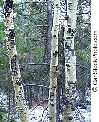 Apen Trunks - Aspen trunks in the Rocky Mountain National...