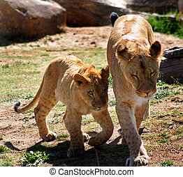 Female lion with lion cub - female lion with lion cub