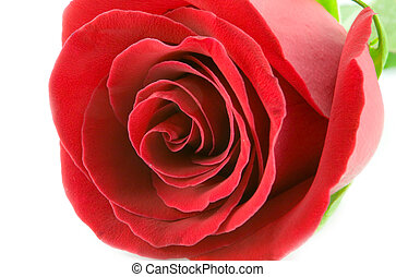 red rose - the red rose macro isolated on white background