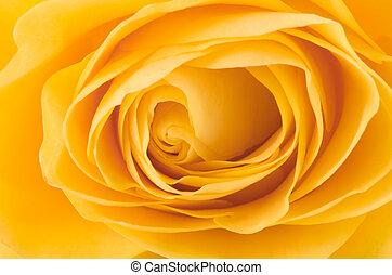 yellow rose - the part of nice yellow rose macri