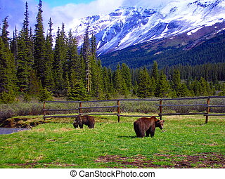 Grizzly bears - Grizzlies at the old corral, Banff National...
