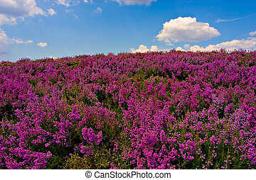 Purple flowered field - Beautiful purple field, with blue...
