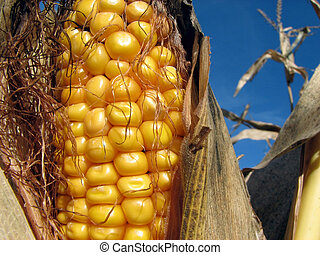 Golden corn and the blue sky - Closeup of a corn cob in the...
