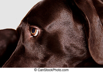 Black Lab Eye - Close up of black labrador retriever eye and...