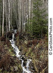 Birch Rapids - A forest creek flowing from a birch thiket...