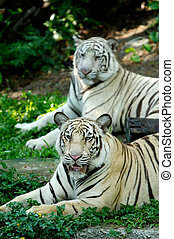 Two Tigers - Two Panthera Tigris sitting and one of them...