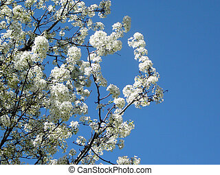 Flowering Tree - Tree branches with white flowersss on a...