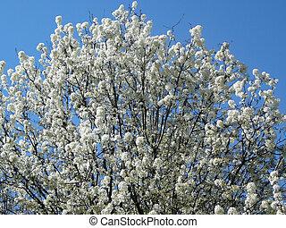 Flowering Tree - Flowering tree