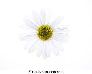 white marguerite - beautiful white spring marguerite against...