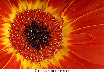 Red And Yellow Gerber Daisy