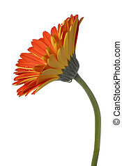 Red And Yellow Gerber Daisy Isolated On A White Background,...