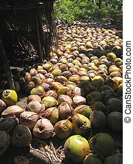 Harvest of coconuts on the ground, Bajawa, Flores, Indonesia...