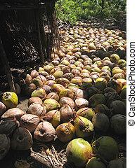 colheita, cocos, chão, Bajawa, Flores,...