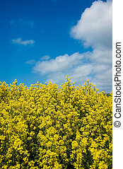 Field of Mustard - A field of mustard plants against a blue...
