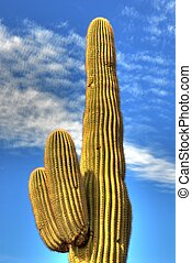 Saguaro Cactus 20 - Saguaro cactus in the winter Arizona...